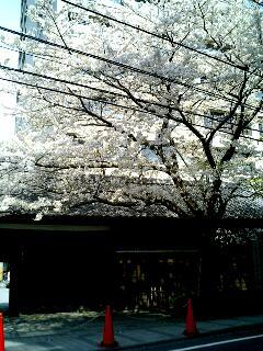 2007年の桜その2