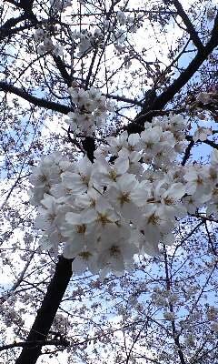 ソメイヨシノは咲いたか、しだれ桜はまだかいな