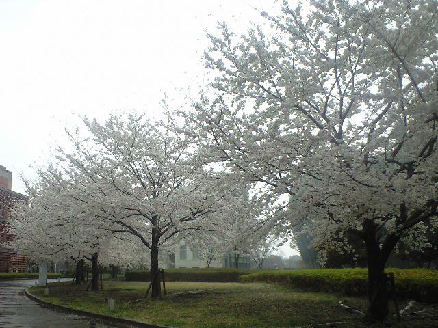 2013年の桜_都内アチコチ
